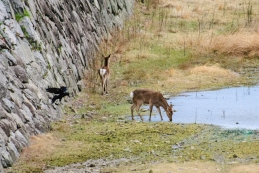 In the dry moats of Nagoya castle the Sika deer graze